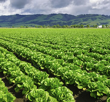Lettuce May Not Be As Green As You Thought